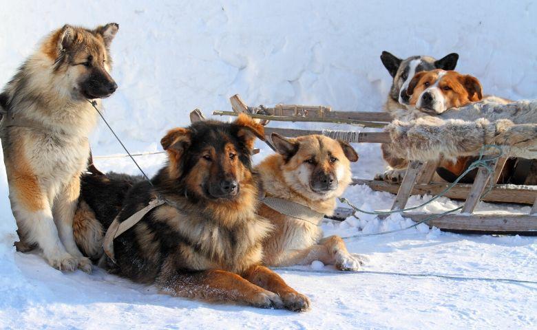 Op sneeuw safari met hondenslee in Noord Italië