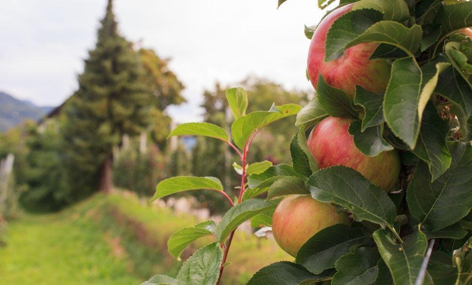 Apple boomgaard in Trentino