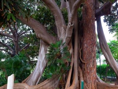 Joe Petrosino en de grootste boom in Palermo