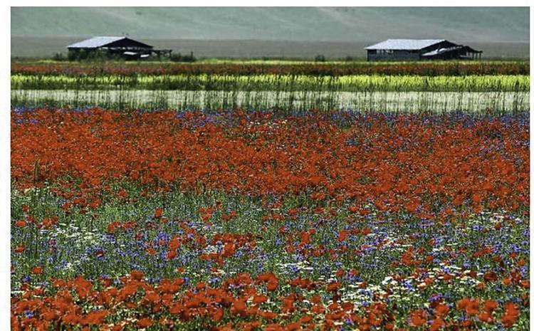 Veel gefotografeerde bloemenvelden in Castellucio