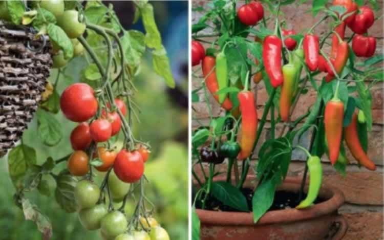 Tomaten doen het goed, als je ze niet teveel water geeft