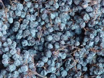 gedroogde corvina druiven voor Amarone