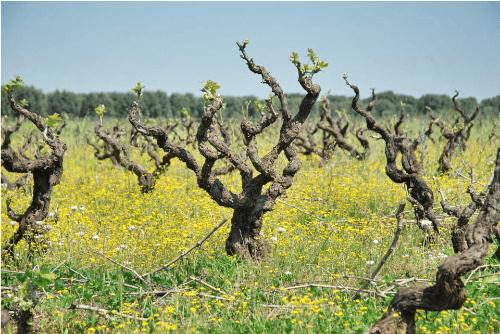 morella-vine-500